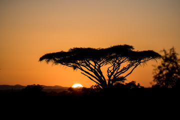 acacia at sunset