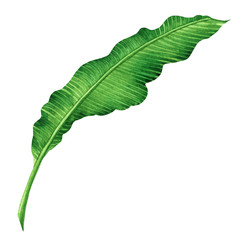 Watercolor painting green leaves isolated on white background.Watercolor hand painted illustration palm,banana leave tropical exotic leaf for wallpaper vintage Hawaii style pattern.With clipping path.