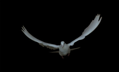 White dove  in the flight pigeon isolated at black side view