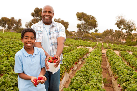 Father and son picking strawberries outside.