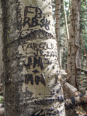 Basque sheepherder graffiti on aspens, 19th century