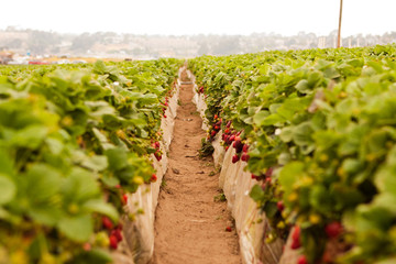 Image of a strawberry patch in the summer.