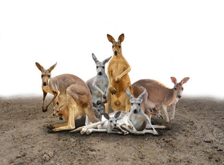 Photo sur Toile Kangaroo kangaroo standing on the ground