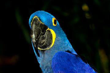 Hyacinth macaw (Anodorhynchus hyacinthinus), or hyacinthine macaw with vivid, deep blue feathers.
