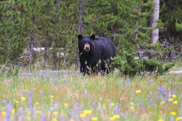 Black bear in a field of flowers