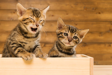 Two striped kitten of Bengal breed playing in a wooden box