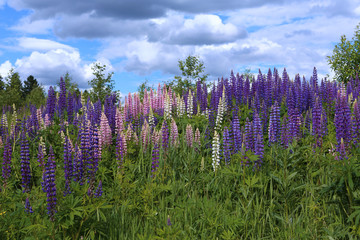 Meadow landscape with flowering lupines