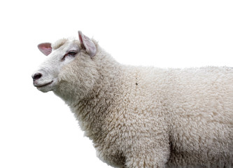 Sheep on white background