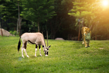Animal wild life hunting food chain concept : leopard looking at Gemsbok (Gemsbuck) at green forest