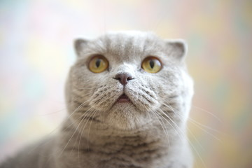 Scottish Fold. Portrait of a gray adult cat. Selective focus