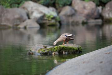 Parenting duck