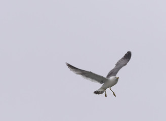 Flying seagull over sky.