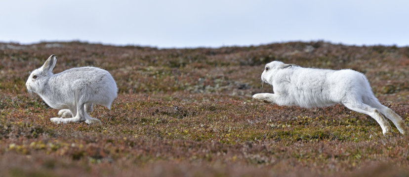 Mountain hares, Lepus timidus, chasing