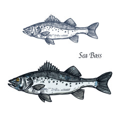 Sea bass fish isolated sketch for seafood design