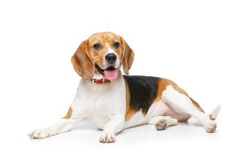 Poster Chien beautiful beagle dog isolated on white