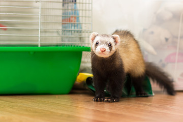 Ferret for 5 months sits on the floor near its cage Wall mural