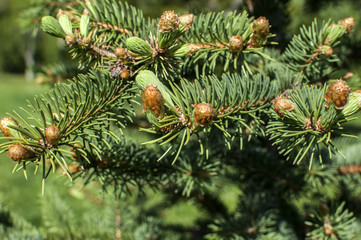 New fresh foliage of Abies concolor white fir closeup