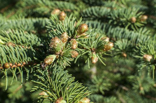 New fresh foliage of Abies concolor white fir closeup