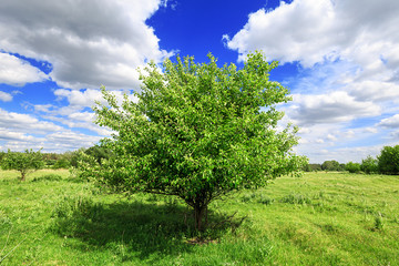 Fototapete - one green tree in the foreground in the field and blue sky with clouds sunny day, beautiful rural landscape