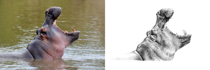 Portrait of hippo before and after drawn by hand in pencil
