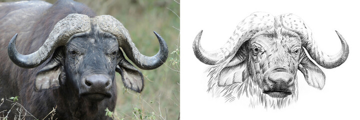 Photo sur Aluminium Buffalo Portrait of buffalo before and after drawn by hand in pencil