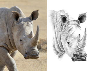 Portrait of rhino before and after drawn by hand in pencil