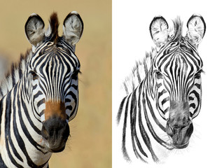 Portrait of zebra before and after drawn by hand in pencil