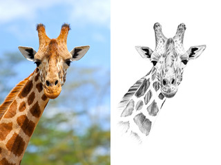 Portrait of giraffe before and after drawn by hand in pencil