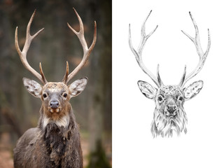 Portrait of deer before and after drawn by hand in pencil
