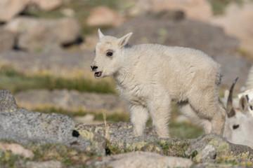 Cute Mountain Goat Kid