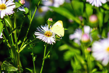 Yellow butterfly on a lilac flower