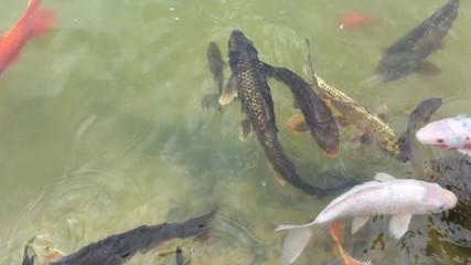 Bilder und videos suchen goldorfe for Goldorfen im teich