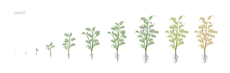 Lentil Soybean Lens culinaris. Growth stages vector illustration