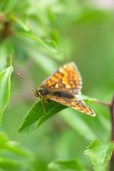 Butterfly Nymphalis polychloros