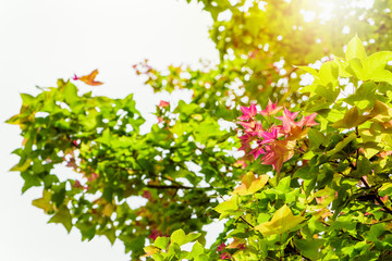 Red young leaves of Maple, Liquidambar formosana, Chinese sweet gum or Formosan gum on tree with sunlight are blossoming in spring background, Thailand