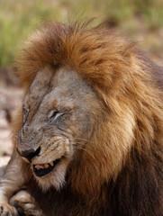 Male Lion Attitude