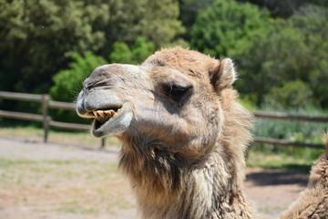 drôle de chameau