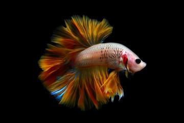 Betta fish, Indonesia