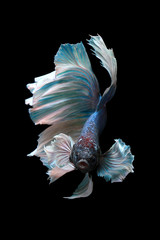 Betta fish, Indonesia
