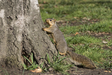 Squirrel at Los Angeles area park common animal at Balboa Lake
