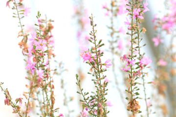 Pink flowers against white background