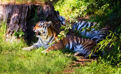 Tiger Growling while Resting in the Shade