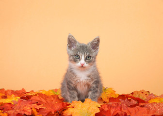 One small tabby kitten gray and white sitting in orange and yellow fall autumn leaves, orange background, looking directly at viewer.