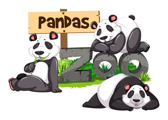 Three pandas in the zoo