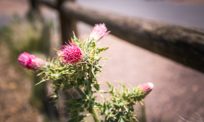 Blooming desert burdock. Vegetation of Arizona
