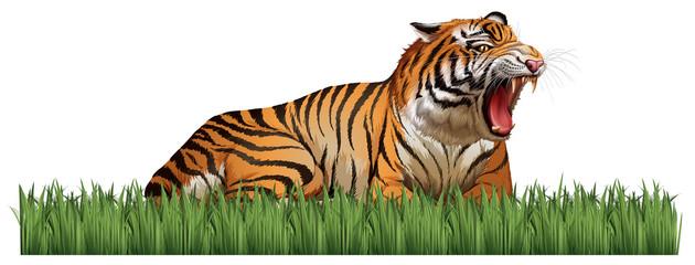 Wild tiger roars in the field
