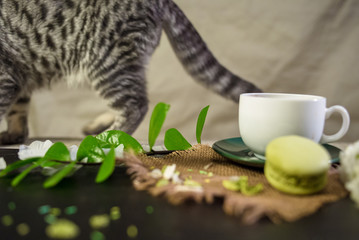 Scottish fold cat with white cup of coffee and green macaroons