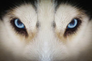Close up on blue eyes of a husky dog with vignette