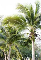 Coconut tree in the garden