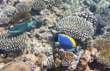 Powder blue tang (Acanthurus leucosternon) and parrotfish (scarus ) over a coral reef, the Indian Ocean